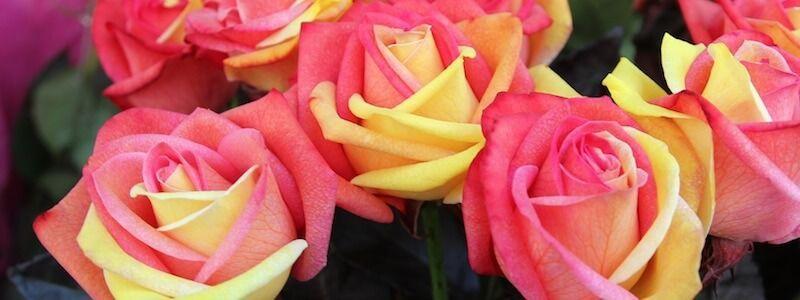 rose Sant Jordi