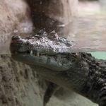 crocodile Zoo Barcelone