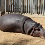 hippopotame Parc Zoologique Barcelone