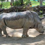 rhinocéros Zoo Barcelone