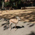 gazella Zoologique Barcelone